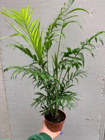 Parlour Palm/Chamaedorea Elegans in 12cm pot