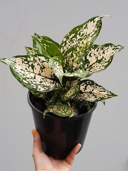Aglaonema 'Eileen' in 18cm pot