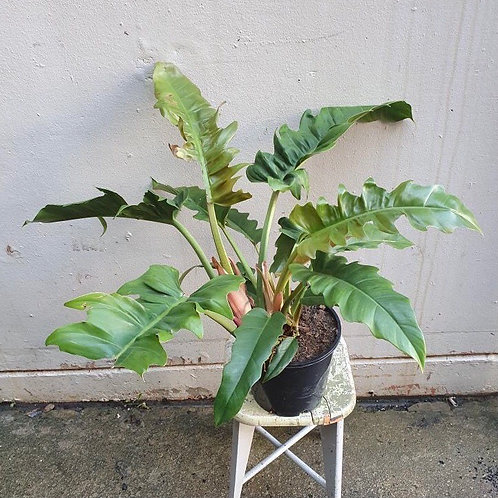Philodendron 'Narrow Leaf' in 20cm pot