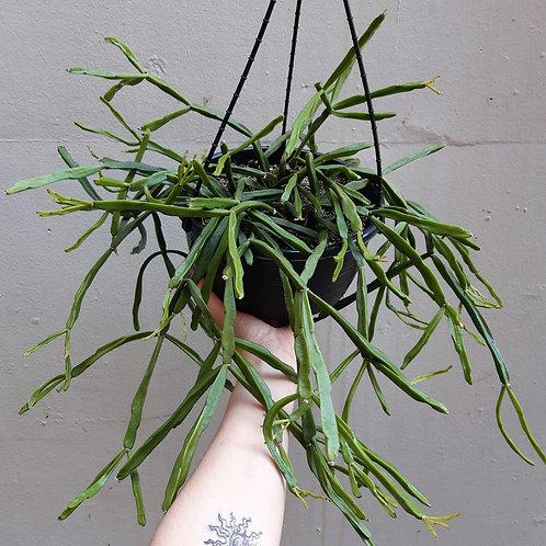 Rhipsalis micrantha in 20cm pot