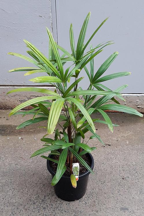 Lady Palm/Rhapis excelsa in 30cm pot