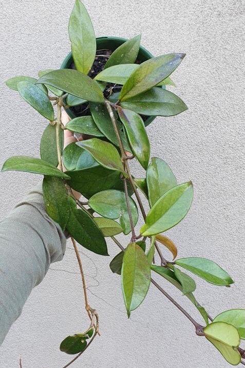 Hoya carnosa in 15cm pot