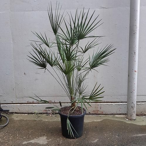European Fan Palm/Chamaerops humilis in 30cm pot