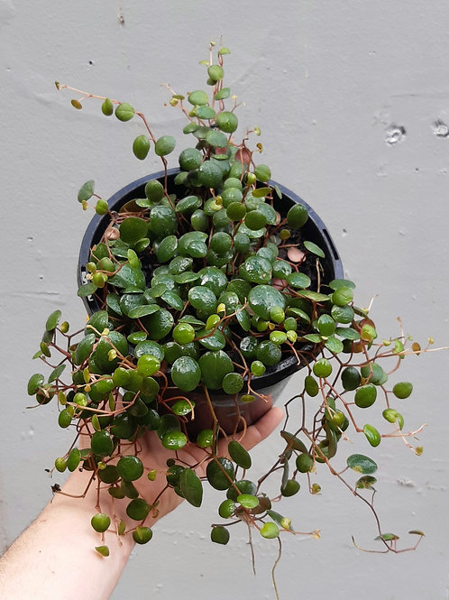 Peperomia 'Pepperspot' in 18cm hanging pot