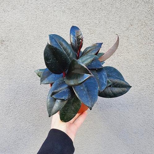 Burgundy Rubber Plant/Ficus elastica in 12cm pot