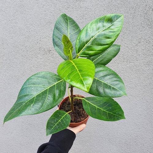 Ficus 'Yellow Gem' in 12cm pot