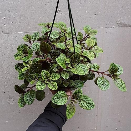 Plectranthus purpuratus in 20cm hanging pot