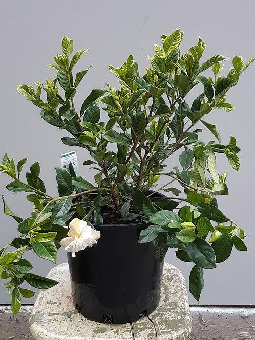 Gardenia 'Florida' in 20cm pot