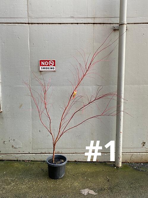 Japanese Maple Tree 'Sango Kaku' in 30cm pot