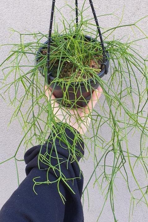 Rhipsalis cassutha in 15cm pot
