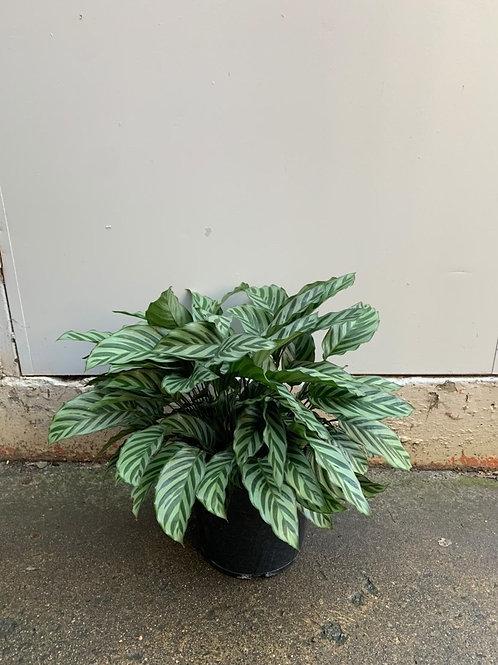 Calathea freddy in 25cm pot