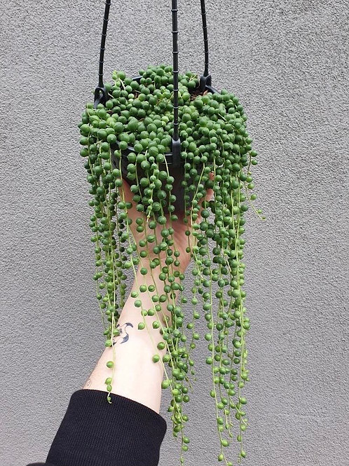 String of Pearls/Senecio rowleyanus in 15cm hanging pot