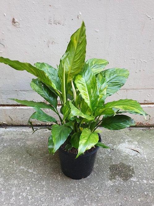 Spathiphyllum 'Alpha Variegated' in 20cm pot