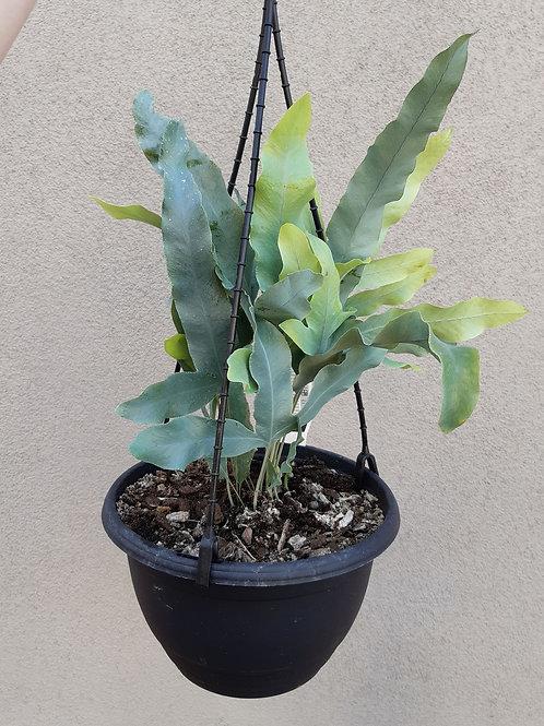 Blue Star Fern/Phlebodium aureum in 20cm hanging pot