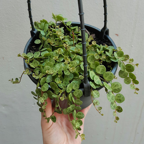 String of Turtles/Peperomia prostrata in 15cm hanging pot