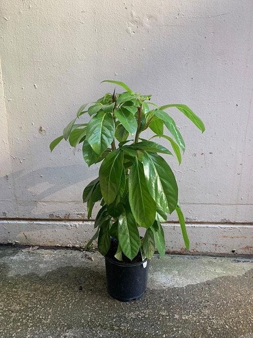 Umbrella Tree/Schefflera amate in 20cm pot