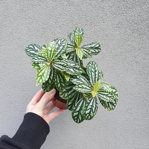 Aluminium Plant/Pilea cadierei in 12cm pot
