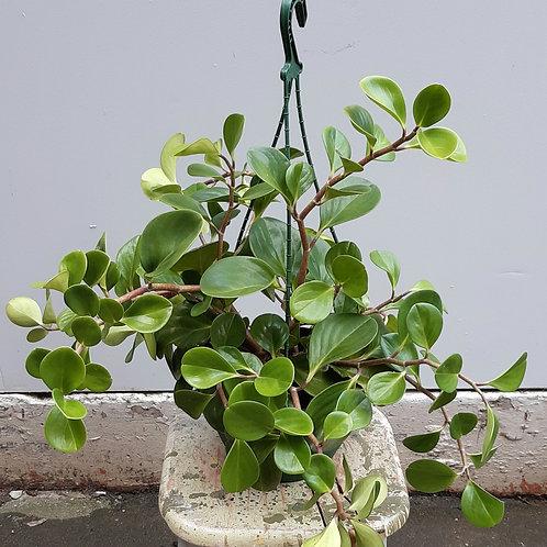 Peperomia obtusifolia in 20cm pot