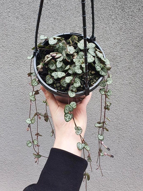 Chain of Hearts/Ceropegia woodii in 15cm hanging pot