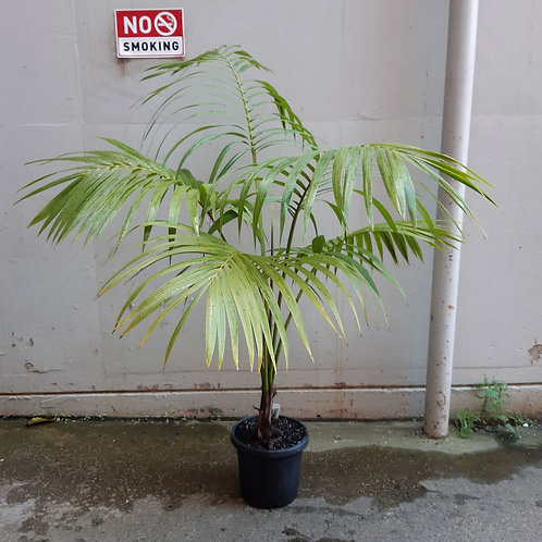 Kentia Palm/Howea forsteriana in 30cm pot