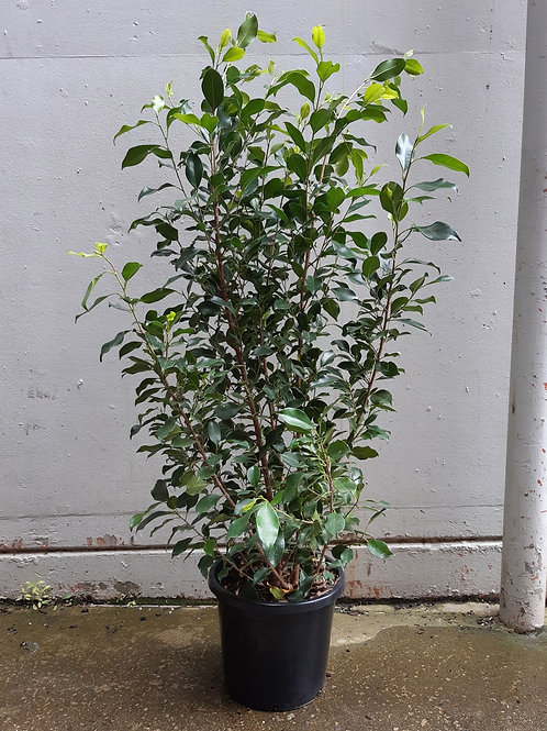 Ficus benjamina in 30cm pot