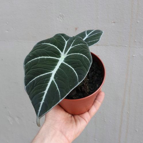 Alocasia reginula 'Black Velvet' in 12cm pot
