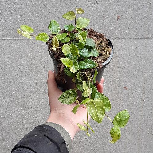 Creeping Fig/Ficus pumilia in 13cm pot