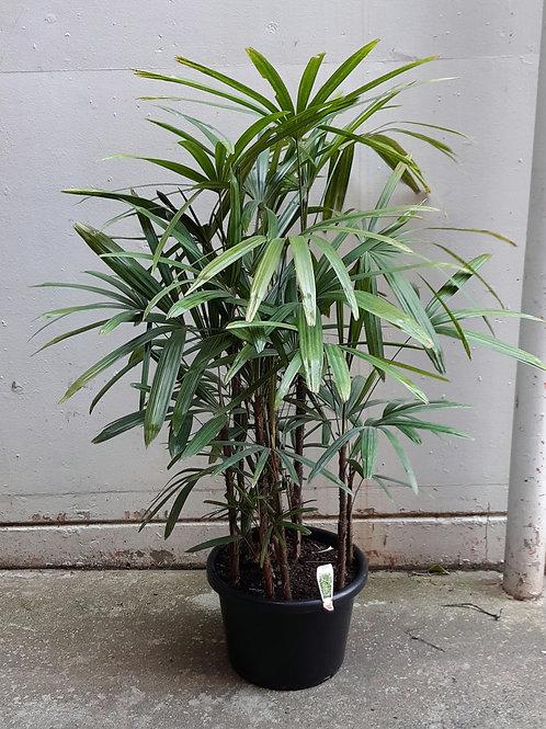 Lady Palm/Rhapis Palm in 40cm pot