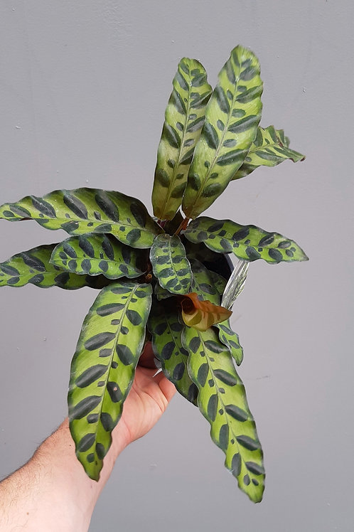 Rattlesnake Plant/Calathea insignis in 14cm pot