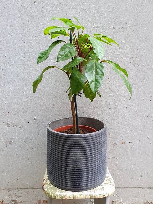 Schefflera amate & Ribbed Concrete Pot Combo