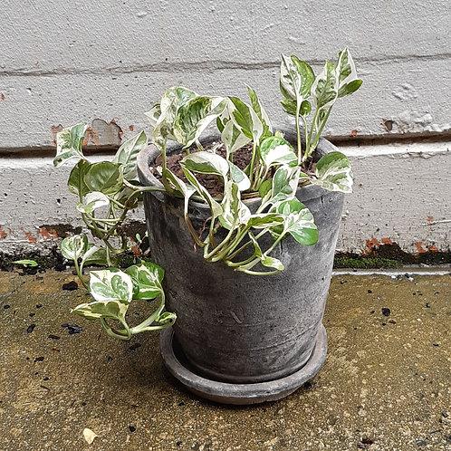 Empiprenum aureum 'Snow Queen' in Rustic Clay Pot