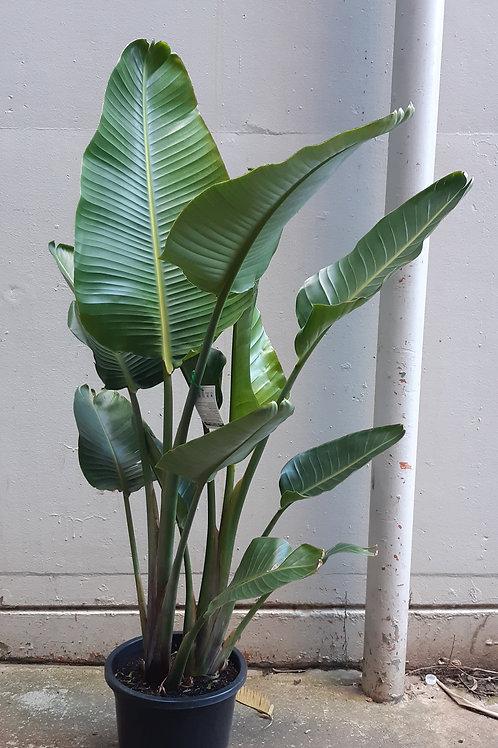 Strelitzia nicolai 'Bird of Paradise' 30cm pot.