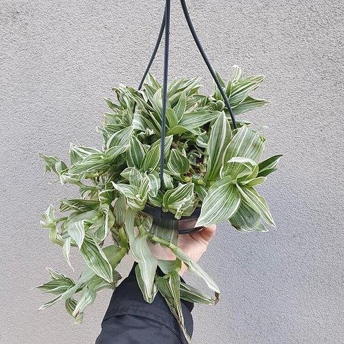 Tradescantia 'Albovittata' in 16cm hanging pot