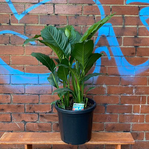 Peace Lily/Spathiphyllum wallisii in 25cm pot