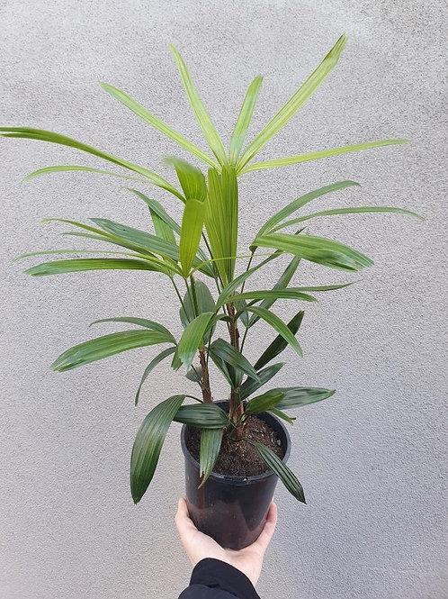 Rhapis Palm/Rhapis excelsa in 14cm pot
