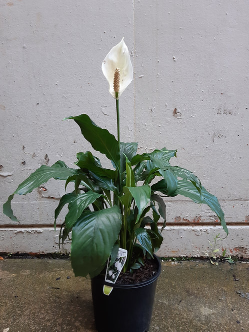 Peace Lily/Spathiphyllum wallisii (Flowering) in 20cm pot