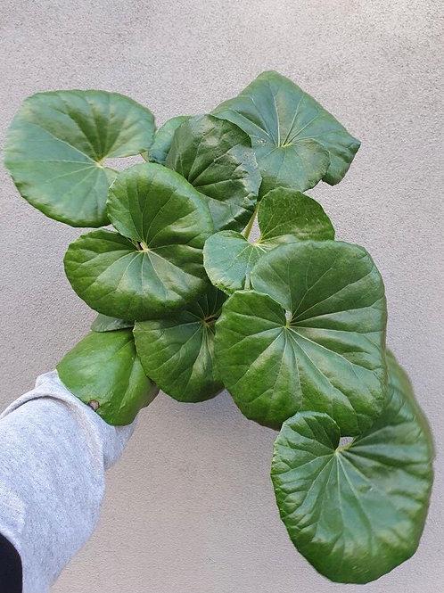 Tractor Seat Plant/Farfugium japonicum in 20cm pot