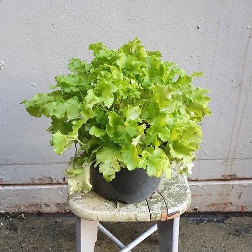 Heuchera 'Green' in 20cm pot