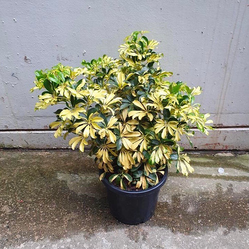 Variegated Dwarf Umbrella Tree/Schefflera 'Madame De Smet' in 30cm pot