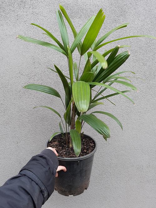 Lady Palm/Rhapis excelsa in 20cm pot
