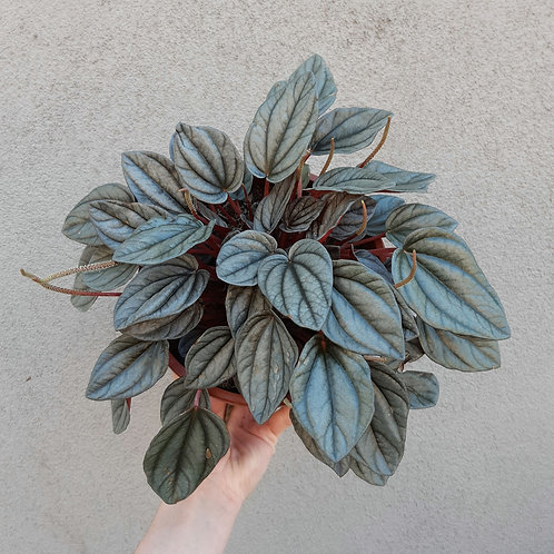 Peperomia marmorata in 17cm pot