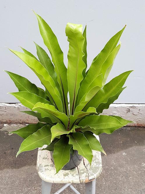 Aplenium nidus in 20cm pot