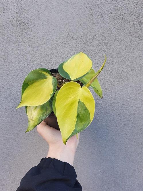 Philodendron 'Brasil' in 12cm pot