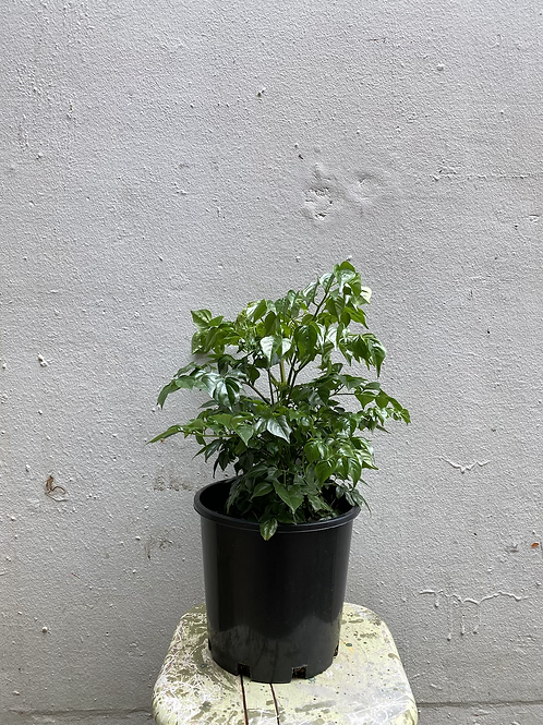 China Doll/Radermarchera sinica in 20cm pot