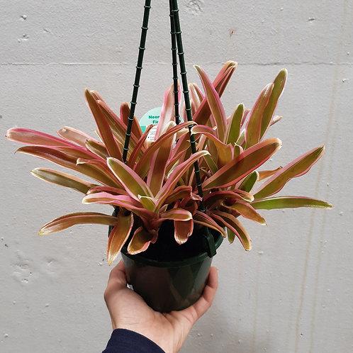 Neoregelia 'Fireball' in 13cm hanging pot
