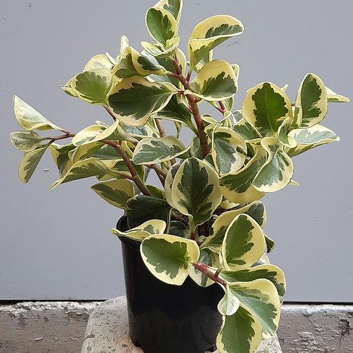 Peperomia 'Albo-Marginata' in 20cm pot
