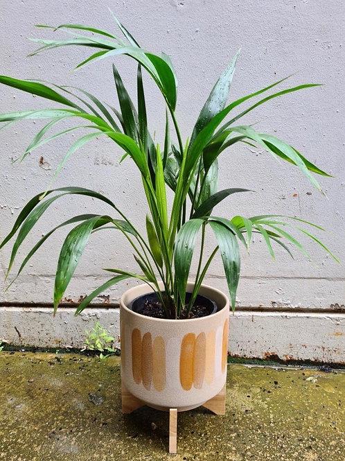 Kentia Palm in Desert Striped Pot (STAFF PICK)