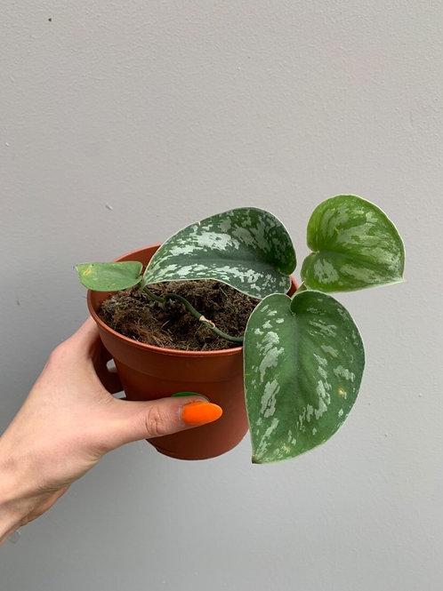 Satin Pothos/Scindapsus pictus 'Exotica' in 12cm pot