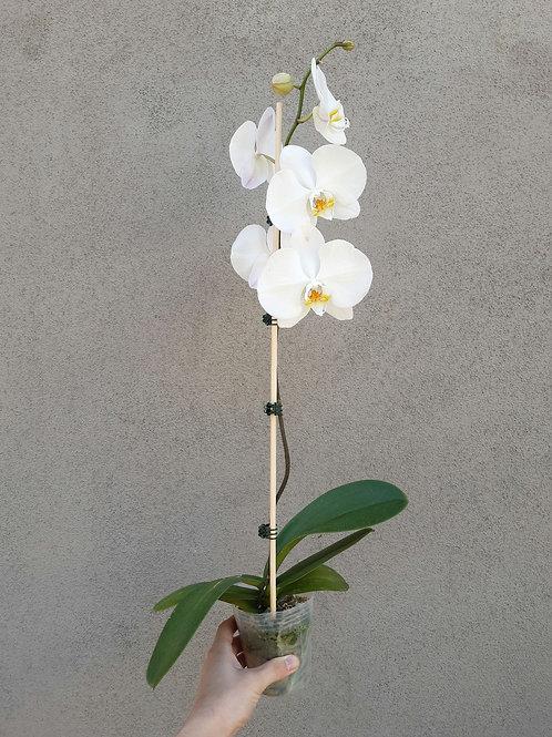 Moth Orchid/Phalaenopsis Blume in 10cm pot
