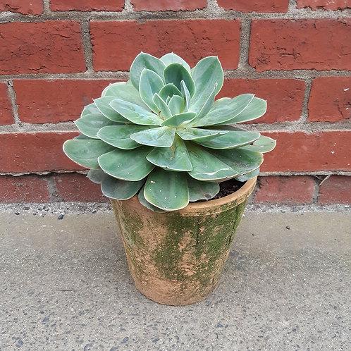 Echeveria succulent in Large Redstone Pot